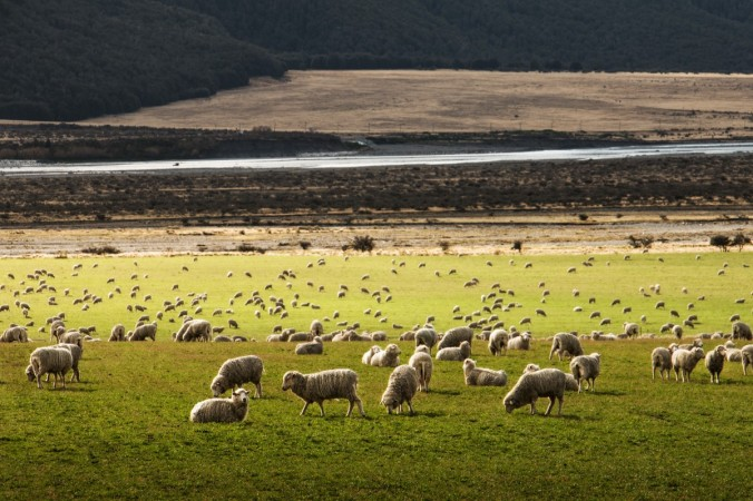 sheep_animal_meadow_grass_farmland-62969.jpg